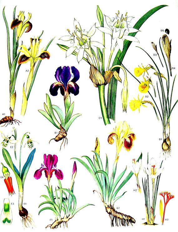 Iris Sea Lily Narcissus  Vintage 1988 by mysunshinevintage on Etsy