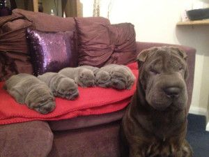 Estos 16 perros con sus pequeños retoños son realmente hermosos! 3) si hay muchas arrugas en esta foto