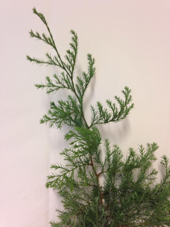 Norsk navn: Krussypress  Botanisk navn: Chamaecyparis pisifera Squarrosa