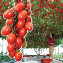 Дом и Сад - Томат - дерево Спрут сливка F1, семена