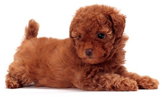 Toy Poodle Small Dogs That Don T Shed Dog Breeds Friendly Dog Breeds Tiny Dogs
