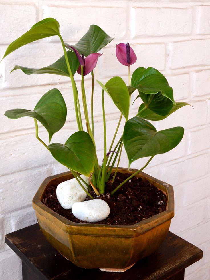 Buy Flamingo Flower (Anthurium Purple)