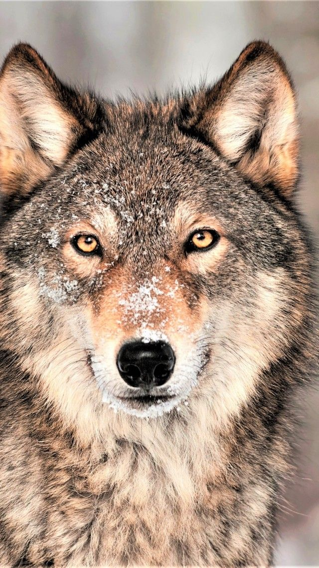 Wolf Grey 4k Vertical Animal Wallpaper Wolf Wallpaper Wild Animal Wallpaper