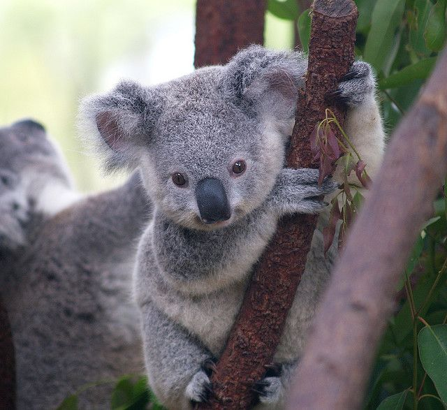 look at that nose. Too cute! It's just made for beeping. Hmmm...I wonder if koalas bite. I guess they might if one beeped their nose.