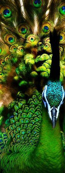 gorgeous green peacock