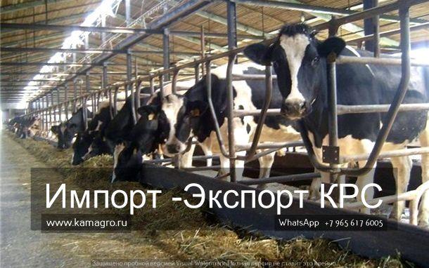 Узнать цену на КРС вы можете на сайте!   У нас Вы можете: купить крупный рогатый скот, телят, быков. Мы занимаемся продажей племенных и товарных пород КРС живым весом !  Наш сайт www.kamagro.ru