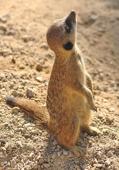 meet the meerkats london zoo