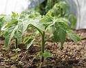 Мобильный LiveInternet Тайны выращивания помидор | lalimur - Дневник lalimur (Марина Манукова) |
