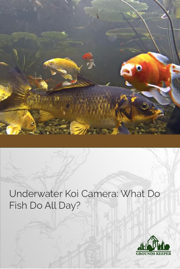 Goldfish pond species decor references - An Underwater Koi Camera Is The Perfect Way To Bring Koi Into Your Living Room Or