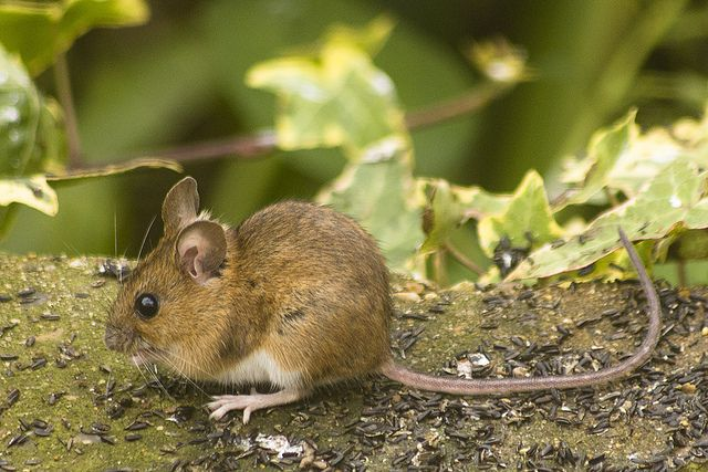 field mouse pictures - Google Search