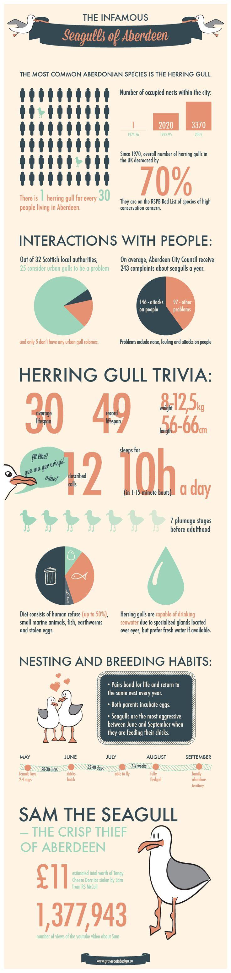 Infographic - Seagulls of Aberdeen. Source: www.grassrootsdesign.co #infographic #infographics #aberdeen #seagulls