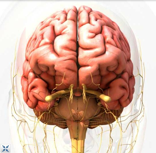 best 20+ human brain anatomy ideas on pinterest | brain anatomy, Muscles