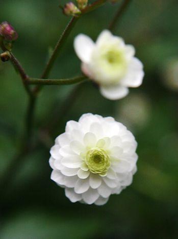 Stormhattsranunkel - VÄXTSÄTT: Mörkt gröna halvflikiga blad med små vita fyllda blommor. Brukar nå en höjd av 50 cm. Blommorna är relativt små men nängden gör att de uppfattas svävande som en vitblommande äng. VÄXTP..