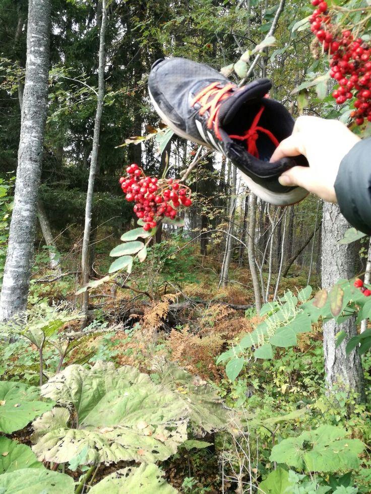 Pihlaja sorbus aucubaria, latokaski metsän reuna