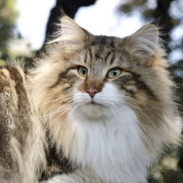 Norwegian Forest Cat, Noldor Forest, Norwegian Forest Cat breeder in Madrid
