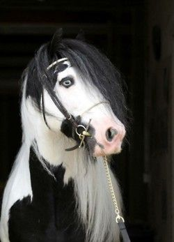 Oh my god what is it with these beautiful horses with the blue eyes! They are just wonderful.