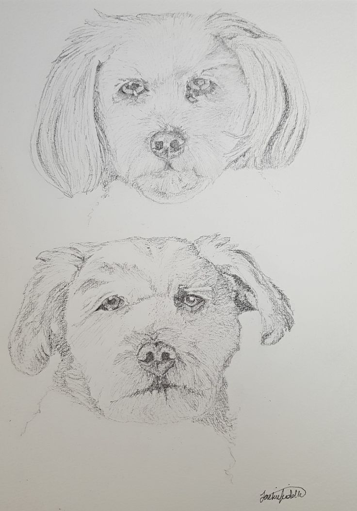 Pepe and Lola, Shitsu/Bichon drawing