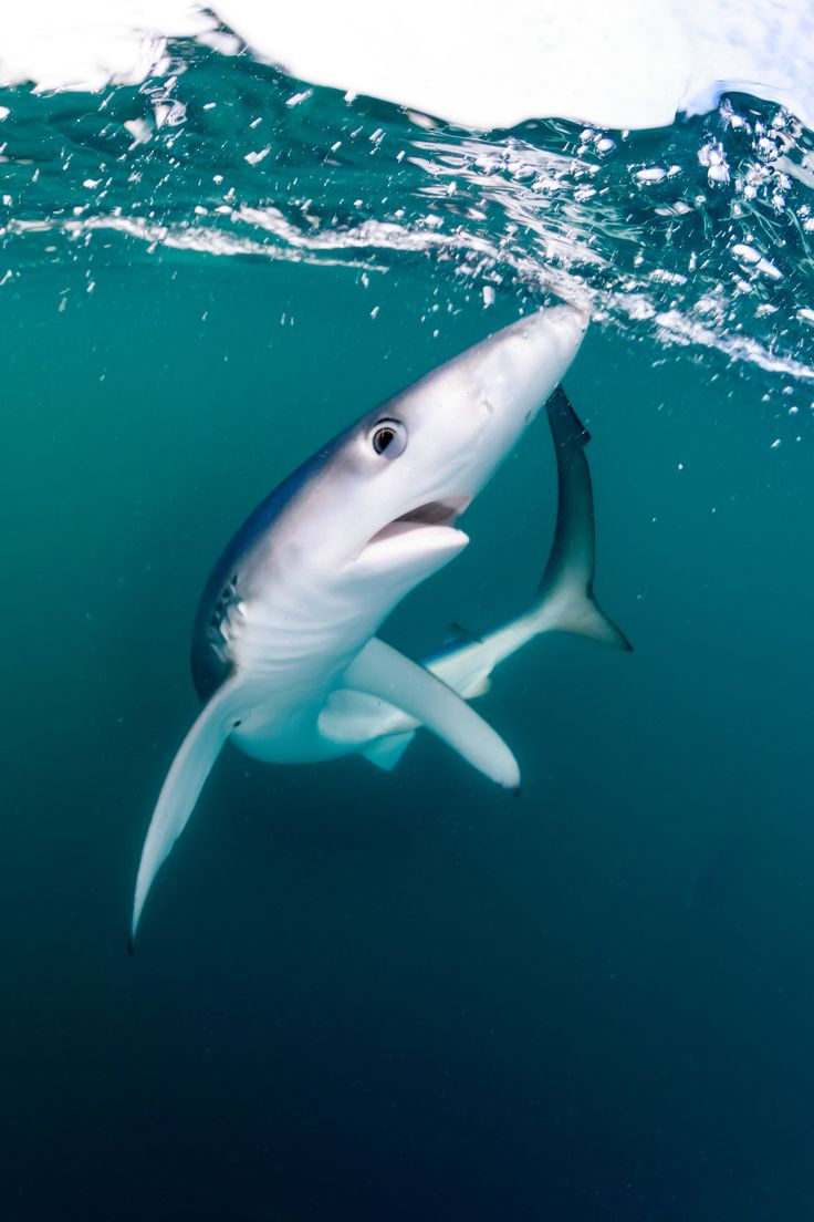 """British waters wide-angle category runner-up """"Shocked Shark"""" by Will Clark (UK) ・ Location: Penzance, Cornwall, UK ・  """"This juvenile blue shark was the first to arrive at our boat after an hour of chumming. We were alerted to its presence by the bobbing of a small buoy which had fresh mackerel tied to it. I leaned over the side of the boat with my camera housing not quite fully submerged as the skipper tried to coax the shark nearer to the boat........。"""""""