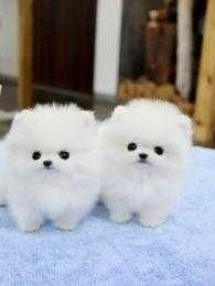 Well Socialized Teacup Poms Puppies Available.Text (562) 661-6885    We have two white outstanding tiny little teacup Pomeranian puppies, puppies for adoption, they  are non-shedding and hypo-allergenic, very friendly. They are ice white coats and very thick and beautiful. Lovable baby faces. Contact us for more information about these precious  teacup pom puppies, they are now ready to meet their new and forever homes Please Do text at (562) 661-6885 for more details and pictures Please…