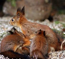 Squirrel mom and three babies by Susanna Hietanen