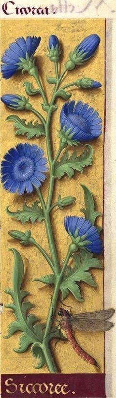 Siccoree - Cicorea (Cichorium Intybus L. = chicorée sauvage) -- Grandes Heures d'Anne de Bretagne, BNF, Ms Latin 9474, 1503-1508, f°31r