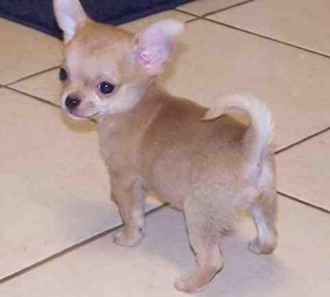Chihuahua: Chiuaua Puppies, Baby Chihuahua, Happy Baby, Teacup Chihuahua, Small Dogs, Chihuahua So, Google Search, Dogs Puppies, Teacups Chihuahua Puppies