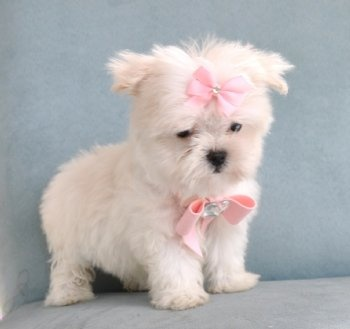 maltese breeders in michigan best 25 teacup maltipoo ideas on pinterest teacup 9488