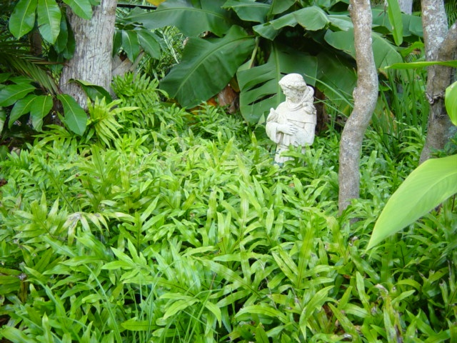 Do Ferns Grow Under Oak Trees : Best images about favorite trees palms and plants on