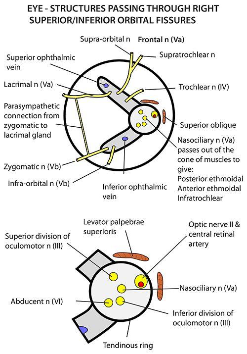 10 best ideas about orbit anatomy on pinterest