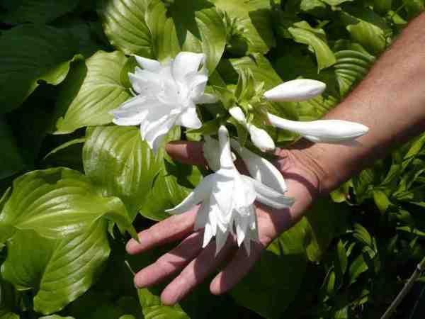 (Hosta plantaginea); fragrant flowers on this semi shade loving large hosts plant.