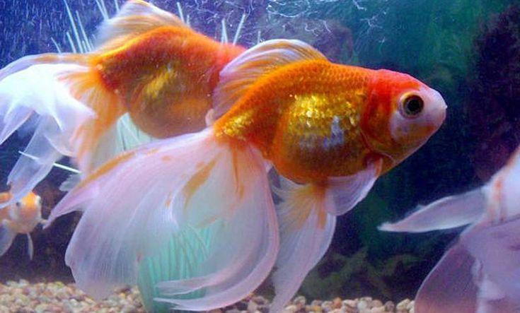 Remedios curativos para los peces con hongos goldfish for Criadero de peces goldfish