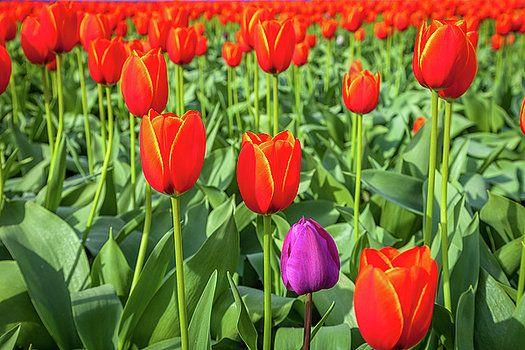 Art Calapatia - Orange Tulips 5