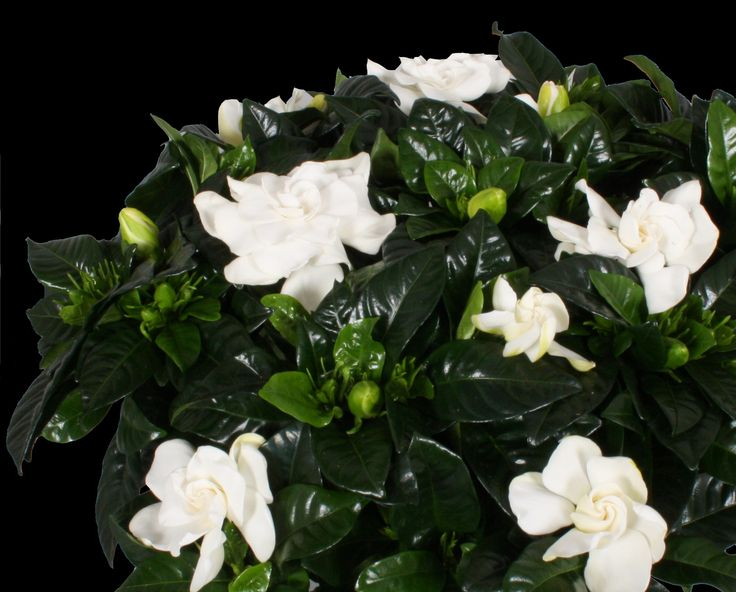 Gardenia, flowers with loveley scent