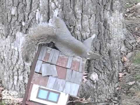 ▶ Drunk Squirrel Had Too Many Fermented Pumpkins - YouTube @Lisa Phillips-Barton B.