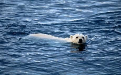 Несколько лет назад одна медведица поставила рекорд – совершила заплыв на 685 км по морю Бофорта, плывя от Аляски на север к паковым льдам для охоты на тюленей. За время своего девятидневного заплыва медведица похудела на 20%. Из-за глобального изменения климата исчезает морской лед, с которого белые медведи охотились. В результате – животные либо уходят в поисках пищи все дальше и дальше, либо гибнут от голода. Спаси Арктику, пока не стало поздно: http://savethearctic.org/