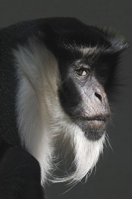 Great Expression - Photograph by - Claude Ferrara~ Diana Monkey