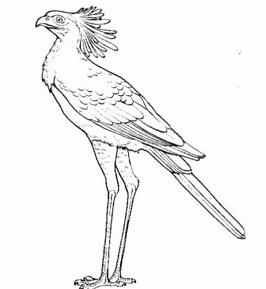 Secretary bird other raptor coloring page for the for Birds of prey coloring pages
