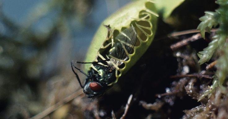 La mejor manera de cultivar plantas de Venus atrapamoscas  desde semilla. La Venus atrapamoscas (Dionaea muscipula) es un tipo único de planta carnívora. Se caracteriza por sus hojas en media luna con extremos sensibles en forma de dedos cortos llamados cilios. Cuando los cilios detectan el movimiento de un insecto, las hojas se cierran de golpe para atraparlo en su interior. Para prosperar y engalanar al agricultor con ...