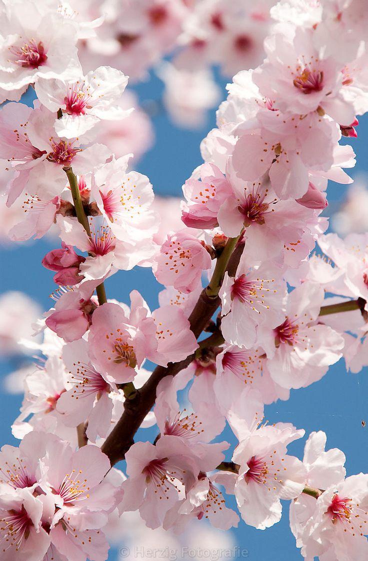 Prunus dulicis - Mandel, Mandelblüte