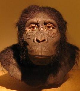 AUSTRALOPITHECUS ANAMENSIS. Especie de 3,9 - 4,2 mill. de años de antigüedad. Su peso oscilaba entre 45 y 60 Kg, lo que nos indica que eran seres dimórficos. Sus muelas poseían gruesos esmaltes, por lo que comía hojas y frutos y alimentos más duros. Vivió en un ambiente forestal, pero más abierto que el de sus antepasados los Ardipithecus ramidus, y se sabe que sí caminaba erguido. A. anamensis era, al mismo tiempo, bípedo y un poderoso trepador.