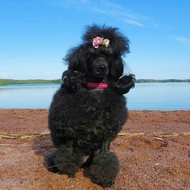 Instadog Instapoodle Poodlesofinstagram Poodle Pudel Hund Dog Villakoira Koira Instadog Instapoodle Poodlesofinstagram Poodl Dogs Poodle Animals