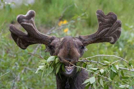 If you thought you looked weird during candid eating shots, try being this moose. Check out these ot... - Green Mountain Exposure/Shutterstock