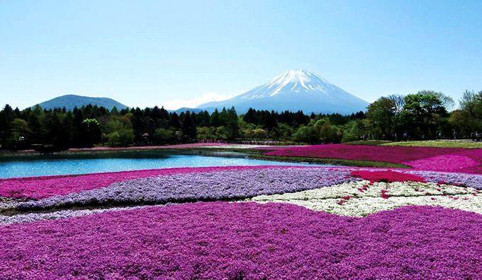 「2017 富士芝桜まつり」が、山梨・富士河口湖にある富士本栖湖リゾートで開催される。期間は、2017年4月15日(土)から5月28日(日)まで。毎年、富士山に春の訪れを告げてくれる花の祭典「富士芝桜...