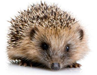 Hedgehog, #Egel