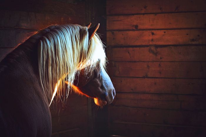"""the fire within - the light in the stable "" by Amanda Pearman -  #fstoppers #Wildlife #stablehorsehorsesfireshinelightsunlightbrownblondefarm"