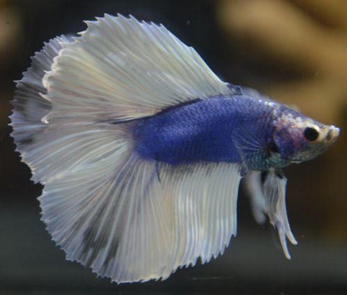 1000 images about betas on pinterest betta fish tank for Ebay betta fish