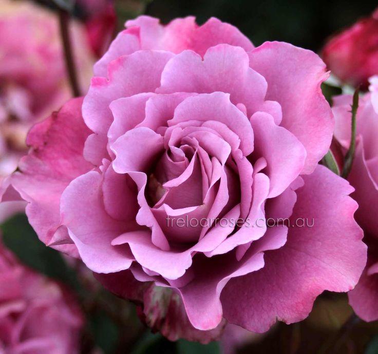 Garden Roses Flower Petal: 127 Best Images About Rose Obsession :) On Pinterest