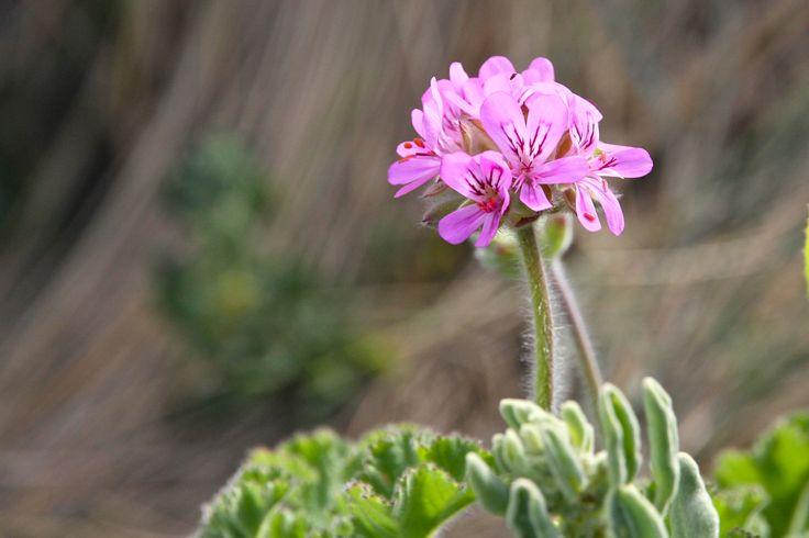 Pelargonium capitatum or wild geranium