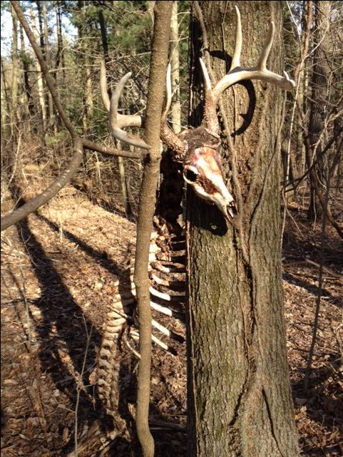 Whitetail  8 point Buck caught between a big and a small tree, met a brutal end.