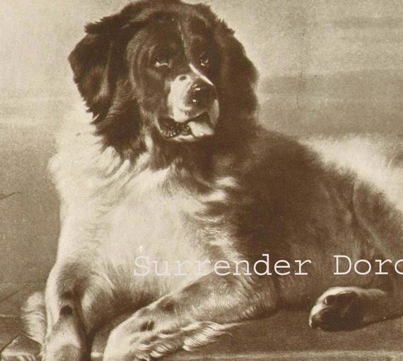 Newfoundland Dog Portrait Of A Gentle Giant 1915 Illustration to Frame Edwardian Natural History